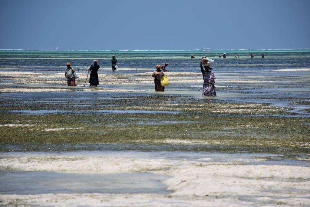 Zanzibar, donne raccolgono alghe durante la bassa marea
